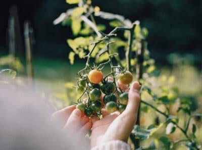 tomaten kweken in de moestuin2